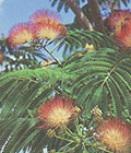 "ALBIZIA julibrissin ""Silk tree"""